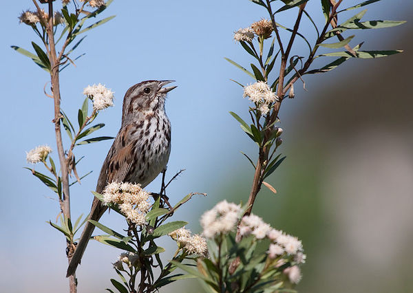 Song Sparrow (Photo: Creative Commons)