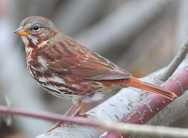 What does the fox sparrow say?