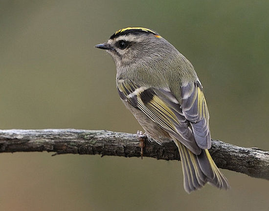 Golden-crowned Kinglet (Photo: Wikimedia Creative Commons)