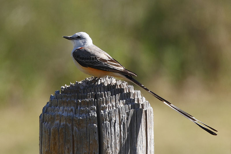 Scissor-tailed Flycatcher (Photo: Creative Commons)