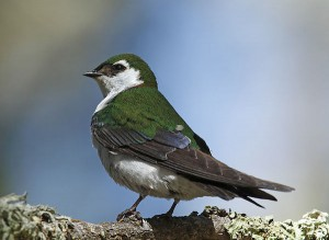 Violet-green Swallow (Photo: Alan Vernon / Creative Commons)