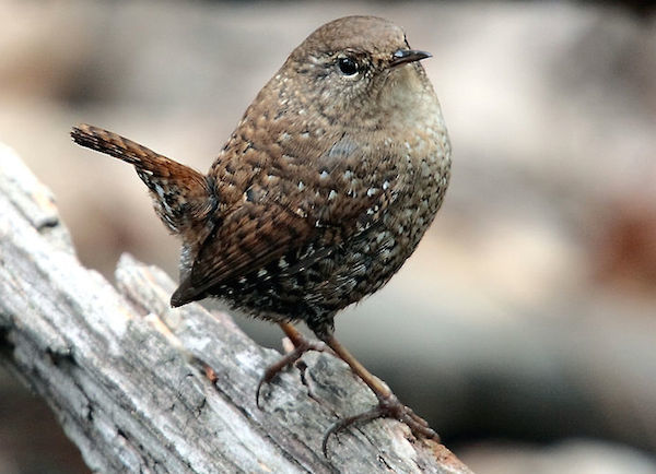 Winter Wren (Photo: Paul Stein/Creative Commons)