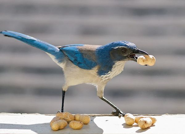California Scrub-Jay (Photo: Ingrid Taylar/Creative Commons)