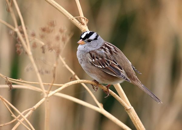 White-crowned Sparrow (Photo: Tim/Wikimedia Creative Commons)