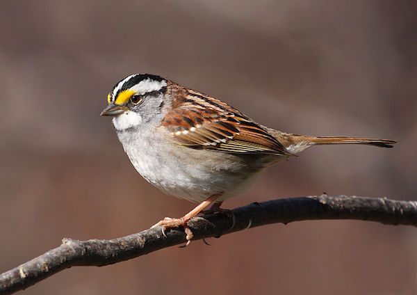 The white-throated sparrow is one of many Kentucky birds you'll find in winter. (Photo: Wikimedia Commons)