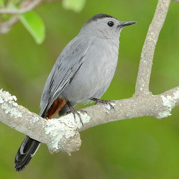 Gray Catbird (Photo: Creative Commons)