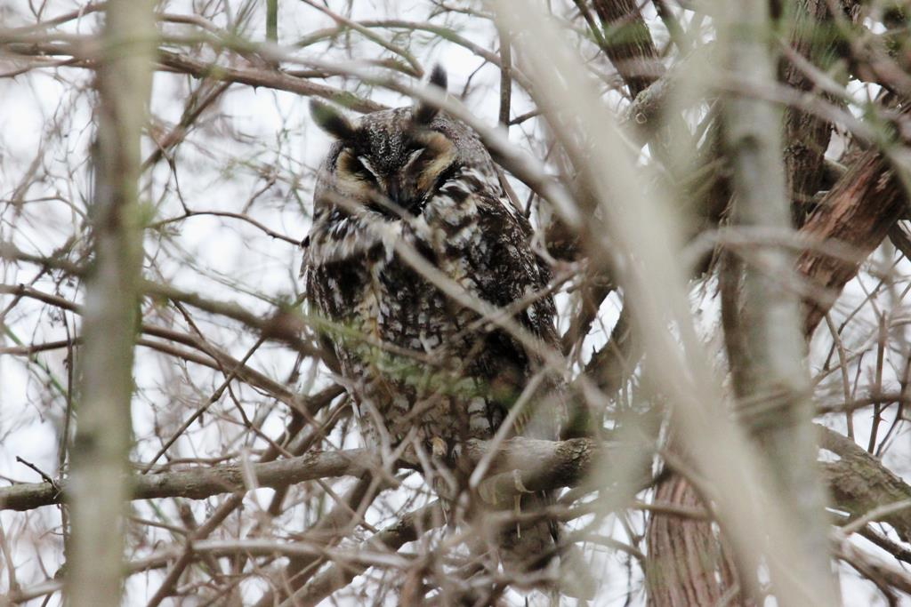 Long-eared Owl (Photo: Kyle Carlsen)