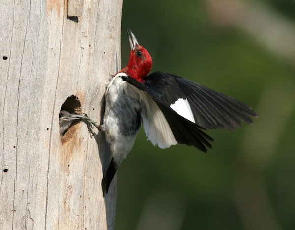 Red-headed Woodpecker at nest site (Photo: Bill Thompson, III)