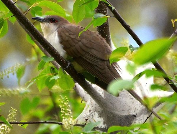 Black-billed Cuckoo (Photo: Andy Reago & Chrissy McClarren / Wikimedia)