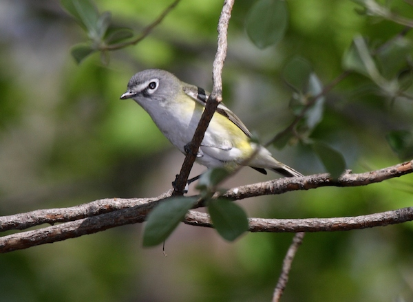 Blue-headed Vireo (Photo: Dominic Sherony/Wikimedia)