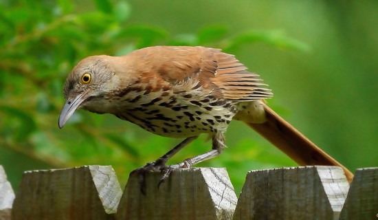 Brown Thrasher (Photo: Wikimedia)