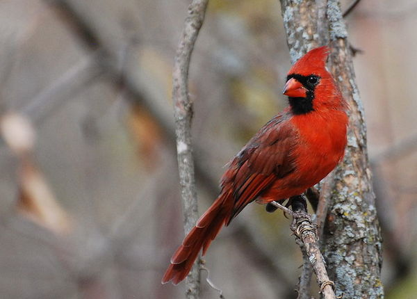 Northern Cardinal (Photo: Creative Commons)