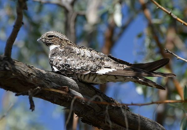An adult common nighthawk sits in a tree.