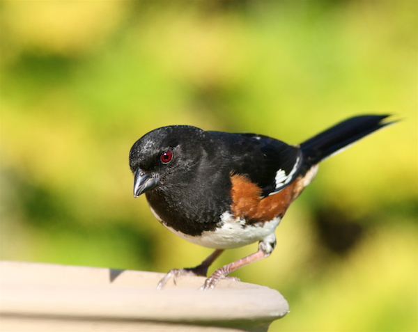 Eastern Towhee (Photo: Bill Thompson, III)