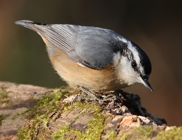 Red-breasted Nuthatch (Photo: Wikimedia)