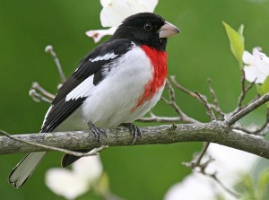 Rose-breasted Grosbeak (Photo: John Harrison/Creative Commons)