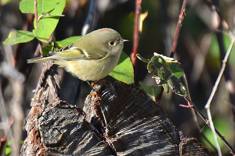 Ruby-crowned Kinglet (Photo: Creative Commons)