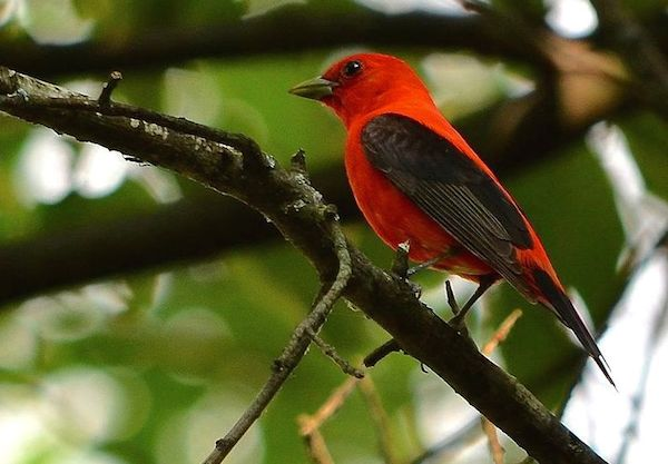 Scarlet Tanager (Photo: Creative Commons)