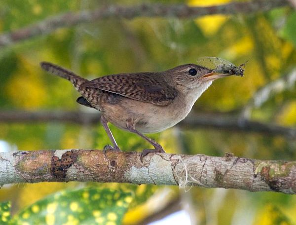 House Wren (Photo: Creative Commons)
