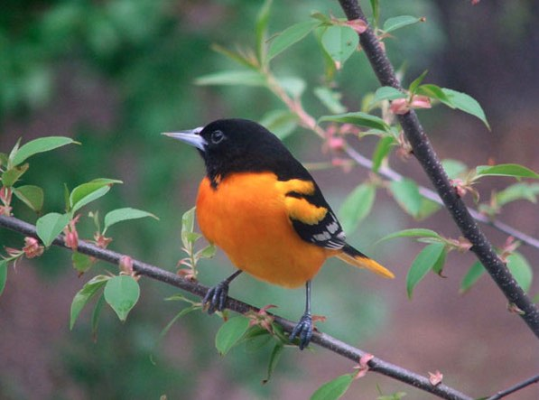 Male Baltimore oriole photo Sandy Kanerva