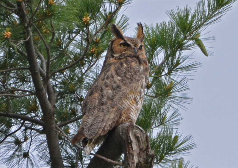 The great horned owl is one of many Minnesota winter birds that birders seek. Photo by Andy Reago and Chrissy McClarren / Wikimedia Commons
