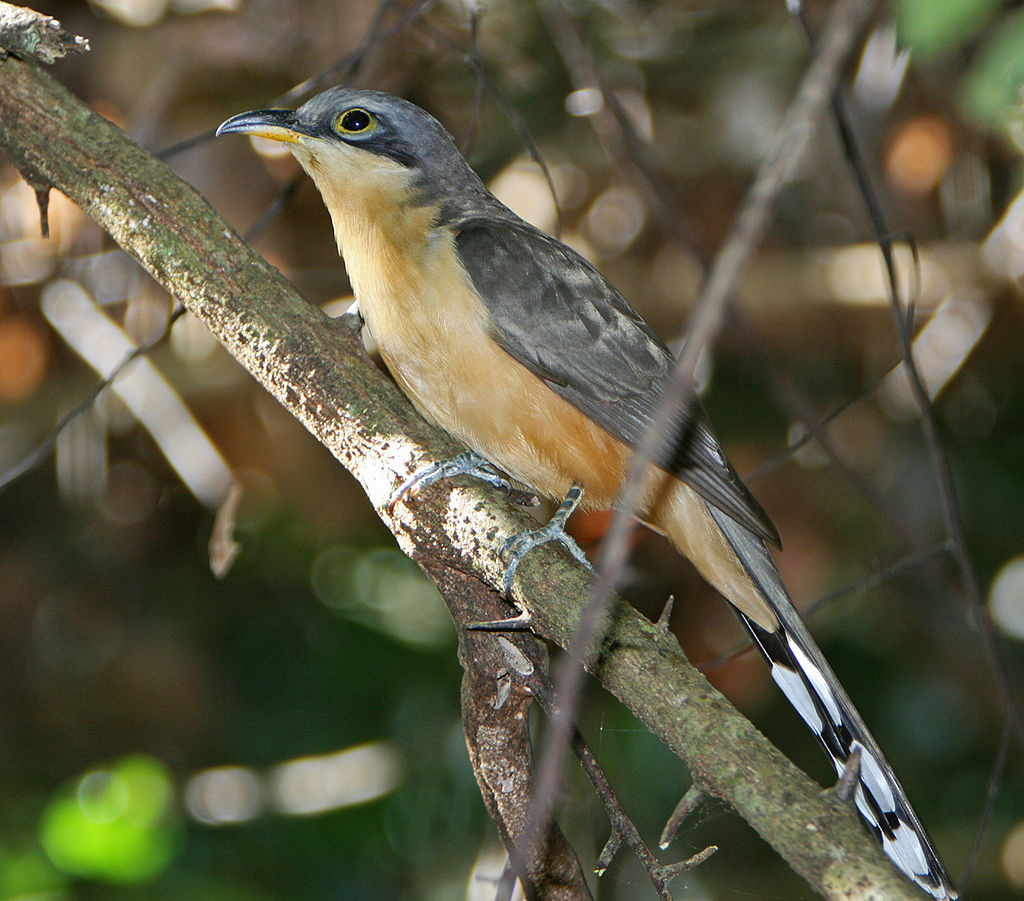 Mangrove cuckoo, photo by birdphotos.com / wikimedia