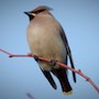 Bird Identification Guide: Waxwings