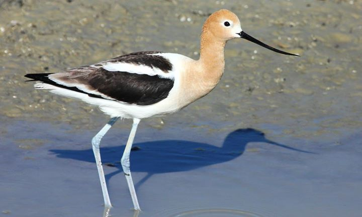 Lousiana birding in winter? You may spot an American avocet. Photo by Kyle Carlsen