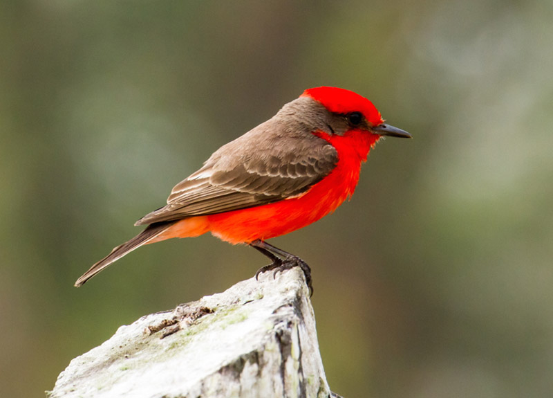 Vermilion Flycatcher by James Diedrick