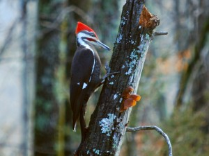 Pileated woodpecker by Annie Howard.
