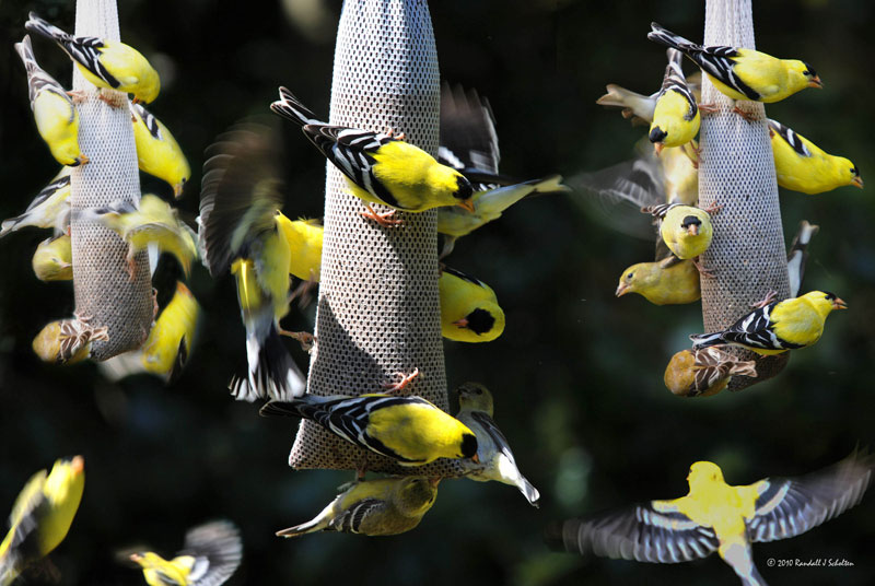 American goldfinches flock at backyard thistle feeders. Photo by Randall Sholten.