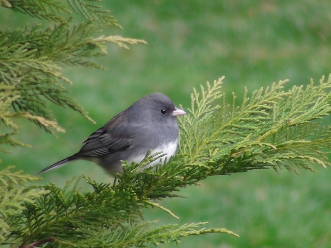 Did you know? The Dark-eyed Junco has lost an incredible 175 million individuals from its population.  Photo by B. Thompson, III.