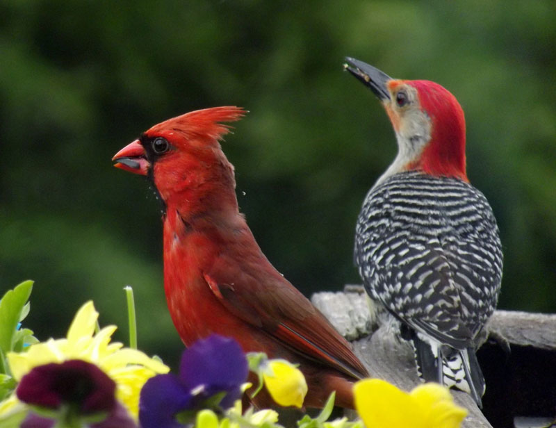 Northern Cardinal and Red-bellied Woodpecker. Photo by Sharon Carper