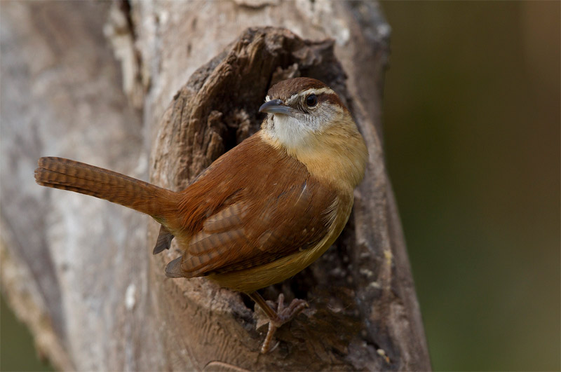 Carolina wren. Photo by Bret Goddard.