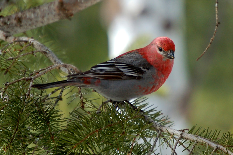 A pine grosbeak waits for its turn to visit a busy feeder. Photo by Jerry Singleton.