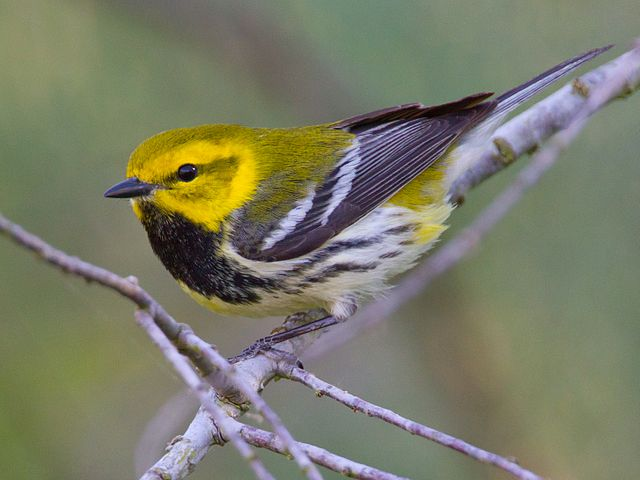 Black-throated Green Warbler (Photo: Wikimedia Commons)