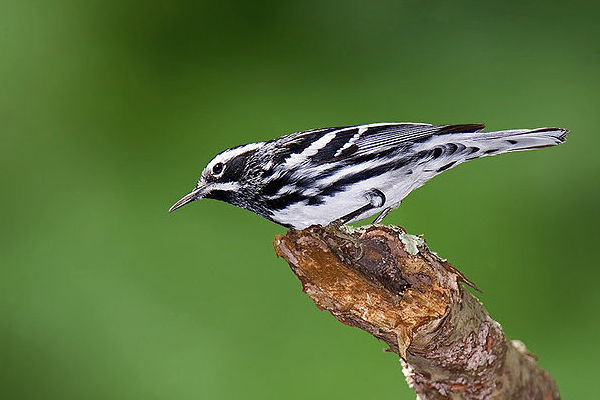 Black-and-white Warbler (Photo: Wikimedia Commons)