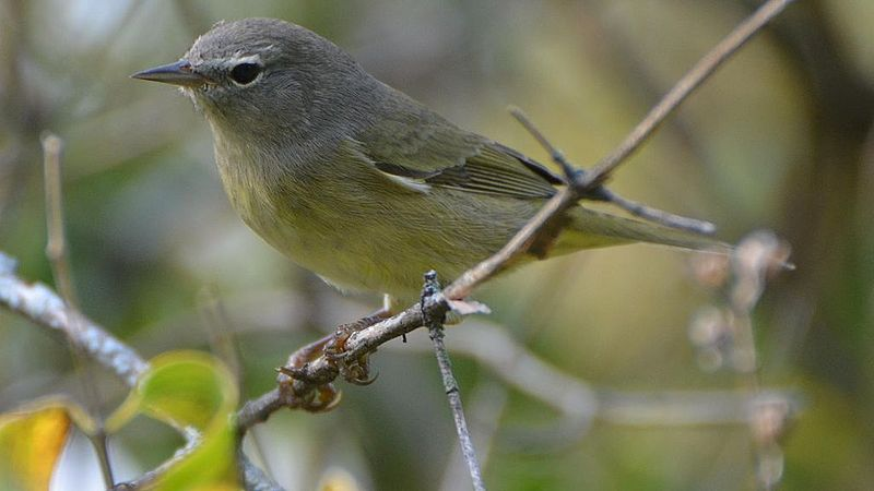 Orange-crowned Warbler (Photo: Creative Commons)