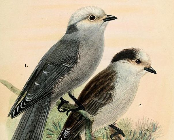 Canada Jays, now called Gray Jays. Illustration by John Gerrard Keulemans.