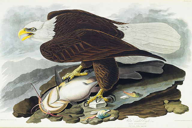 White-headed Eagle, now called the Bald Eagle. Illustration by John James Audubon.