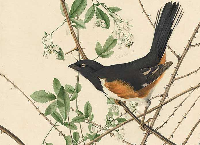 Chewink, now called Eastern Towhee. Illustration by John James Audubon.