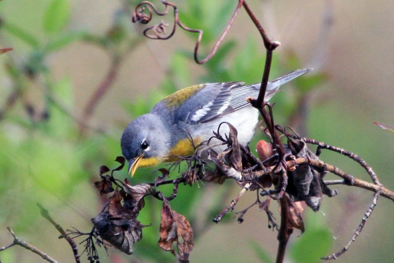 Northern parula on red twig. Photo by Dan Fein.