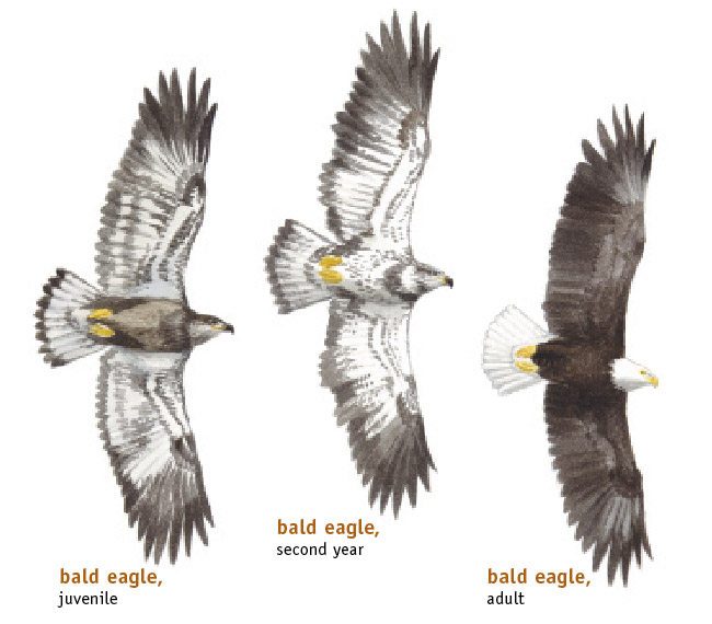 Superb Bald Eagle Diagram Galleryhipcom The Hippest Galleries Basic Wiring Digital Resources Remcakbiperorg