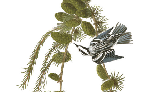 Black and White Creeper, now called the Black-and-white Warbler. Illustration by John James Audubon.