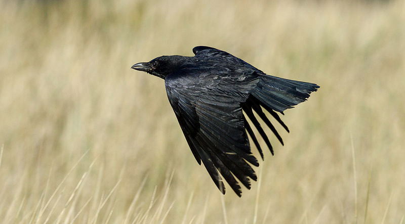 Common ravens are great learners. Consequently, they've been studied by ornithologists and behaviorists for a long time. Common raven photo by Danrok, Wikimedia Commons.