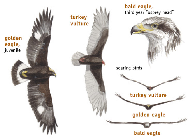 How to Identify Bald Eagles, Young and Old » Bird Watcher ...