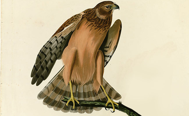 Frog Hawk, now called the Northern Harrier. Illustration by John James Audubon.