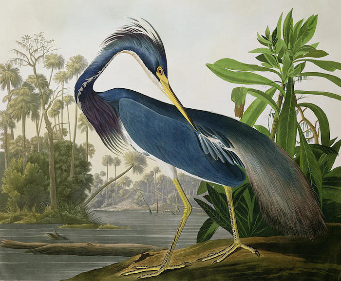 Louisiana Heron, now called the Tricolored Heron. Illustration by John James Audubon.