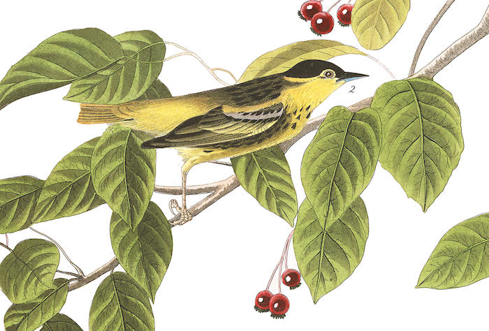 Carbonated Warbler, a mystery bird painted and described by John James Audubon in the early 1800s.