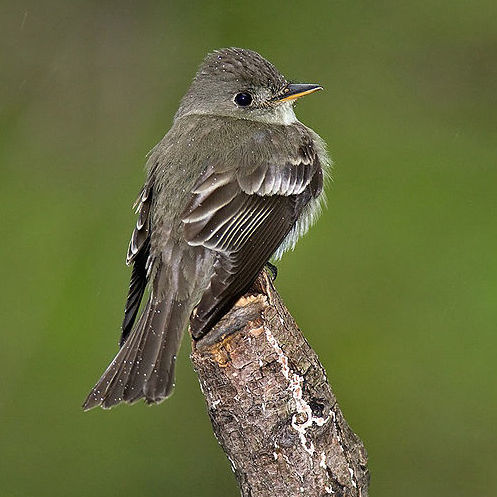Acadian Flycatcher (Photo: Majoros/Wikimedia)